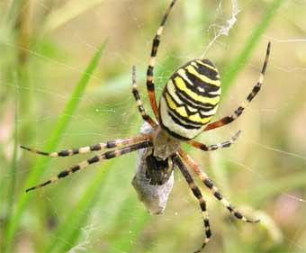 черный паук с желтыми полосками на спине фото
