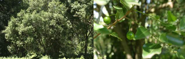 Cryptocarya woodii