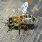 Приснились Пчелы