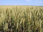 Приснилась Пшеница